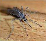 new vlc west nile mosquito