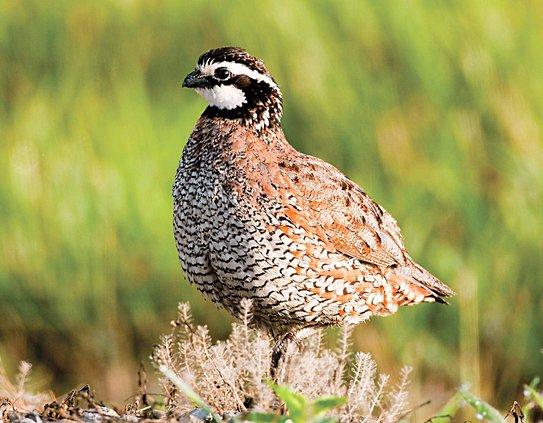 new-vlc_quail photo.jpg